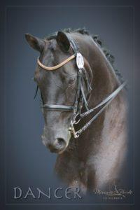 Portrait eines Dressurpferdes mit Lichteffekten
