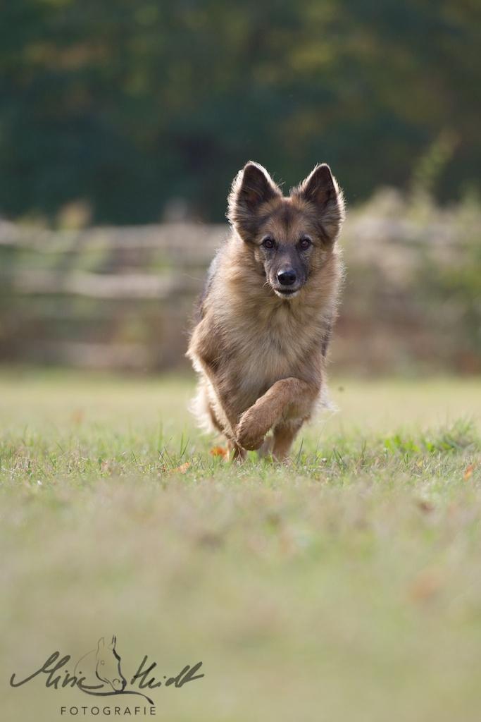Schäferhundmischling rennt auf die Kamera zu